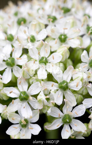 Close up of Allium nigrum flowers. - Stock Photo