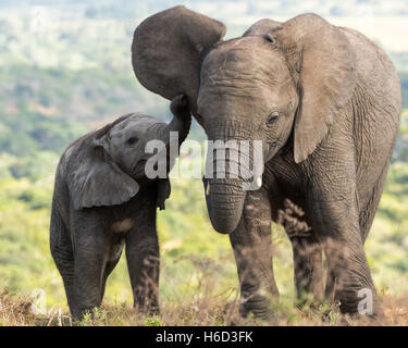 African Elephant (Loxodonta Africana) With Mother - Stock Photo