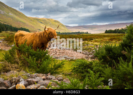 Highland cow with Applecross River and valley in the background. - Stock Photo