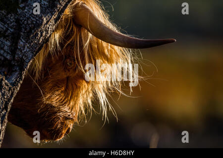 Backlit Highland cow scratching on a tree in morning sunlight. - Stock Photo