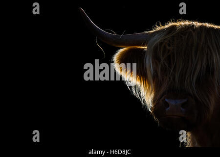 Backlit Highland cow in morning sunlight. - Stock Photo