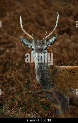 Young Red Deer Stag on heathland. - Stock Photo