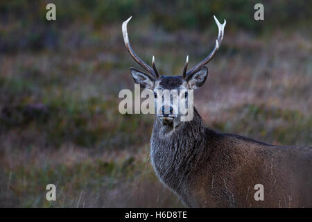 Red Deer Stag on heathland. - Stock Photo