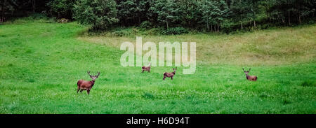 Four deers are grazing on the meadow in Hjelle, Norway. - Stock Photo