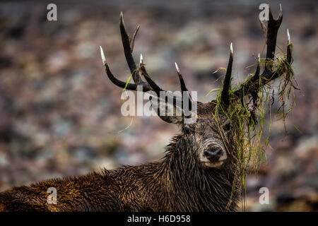 Red Deer Stag with debris hanging from antlers. - Stock Photo