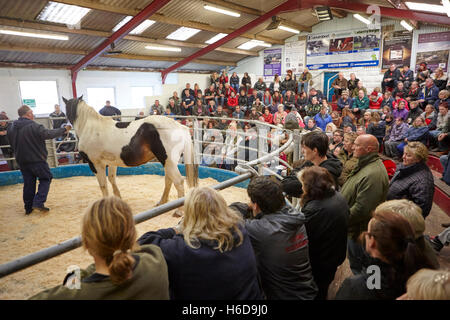 local horse fair auction ring at a market in england in the uk - Stock Photo
