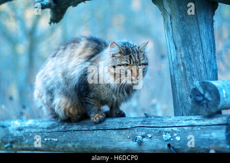 Blue vintage landscape with Siberian cat sitting on a fence - Stock Photo