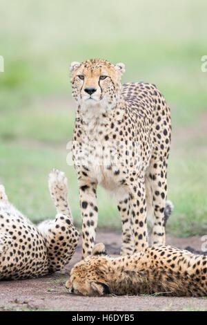 Cheetah (Acinonix jubatus) standing between two others, Maasai Mara National Reserve, Kenya - Stock Photo