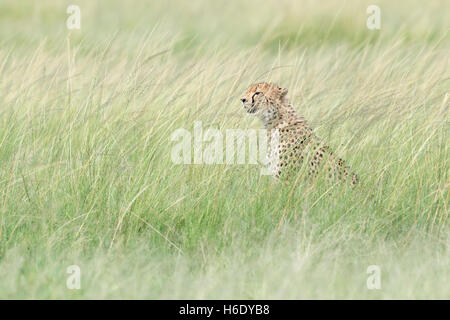 Cheetah (Acinonix jubatus) sitting hiding in grass, looking for prey, Maasai Mara National Reserve, Kenya - Stock Photo