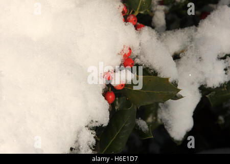 Holly bush covered in snow - Stock Photo
