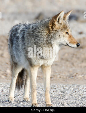Coyote - Canis latrans - Stock Photo