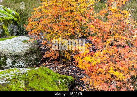 Redvein enkianthus, Enkianthus campanulatus, autumn colors - Stock Photo
