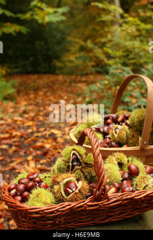 Freshly foraged sweet chestnuts (castanea sativa), including some in their prickly husk, in an ancient woodland - Stock Photo