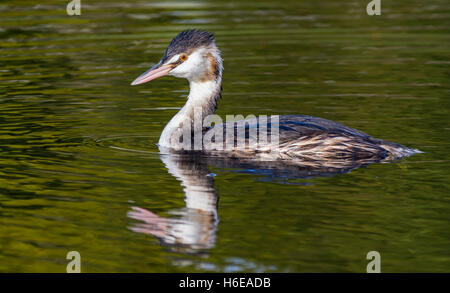 Great crested grebe (Podiceps cristatus) in non-breeding plumage, swimming in water in West Sussex, England, UK. - Stock Photo