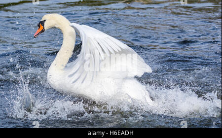 White Mute Swan (Cygnus olor) taking off from water in the UK. - Stock Photo
