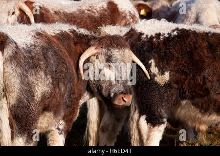 Dorset Longhorn steer, one of many variants of longhorn cattle - Stock Photo