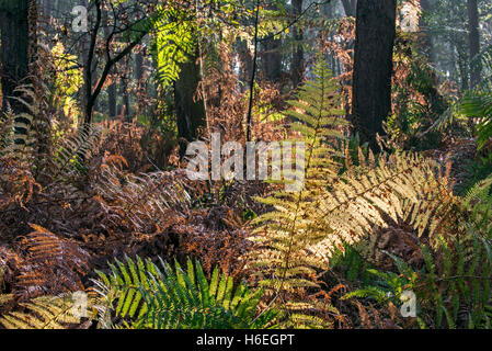 Bracken / eagle fern fronds (Pteridium aquilinum) in autumn colours in forest - Stock Photo