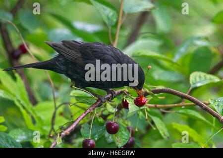 Common blackbird (Turdus merula) male eating cherries from cherry tree - Stock Photo