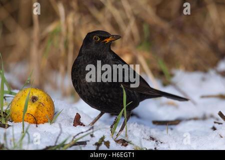 Common blackbird (Turdus merula) male eating from fallen apple in the snow in winter - Stock Photo
