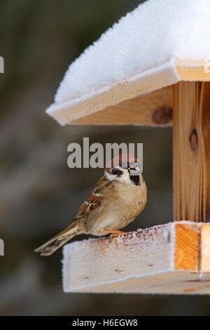 Eurasian tree sparrow (Passer montanus) feeding on seed from bird feeder in the snow in winter - Stock Photo