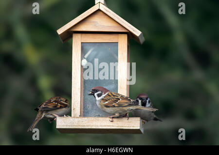 Eurasian tree sparrows (Passer montanus) feeding on peanuts and seeds from bird feeder in the snow in winter - Stock Photo