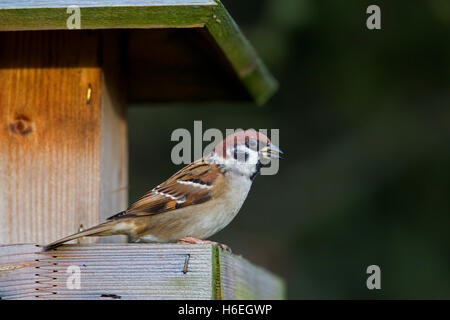 Eurasian tree sparrow (Passer montanus) feeding on seed from bird feeder in winter - Stock Photo