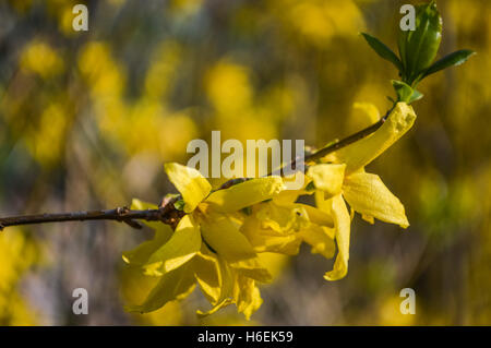 Forsythia flowers on a twig close up - Stock Photo