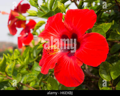 Red Hibiscus Flower in a garden. Mijas. Costa del Sol, Malaga province. Andalusia Spain. Europe - Stock Photo