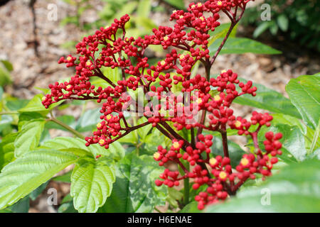 Tiny red flowers with buds blossom in the garden - Stock Photo