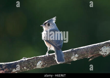 Backlit tufted titmouse looks over shoulder while perched on branch - Stock Photo