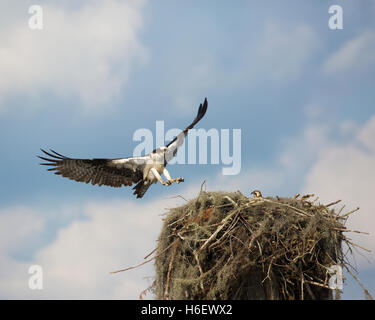 Osprey (Pandion haliaetus) landing on nest with chick in Atchafalaya Swamp, the largest wetland in the USA - Stock Photo