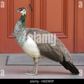 Indian Peahen (Pavo cristatus) on porch of Joseph Jefferson Mansion in Rip Van Winkle Gardens on Jefferson Island - Stock Photo