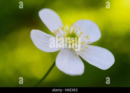 Wood Anemone (Anemone nemorosa) on blurred green background - Stock Photo