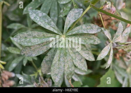 Powdery mildew on lupin, Lupinus sp., leaves - Stock Photo