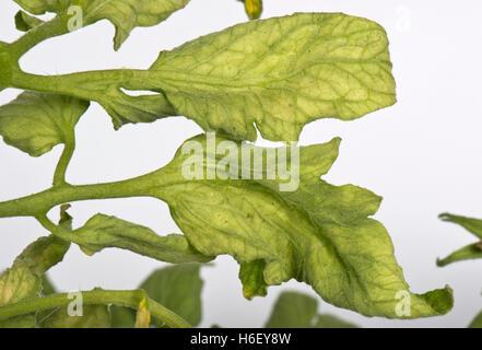 Tomato fern-leaf a symptom of TMV, CMV or PepMV virus on tomato plants - Stock Photo