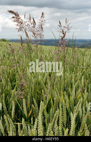 Yorkshire fog, Holcus lanatus, flowering in winter wheat in ear, West Berkshire, July - Stock Photo