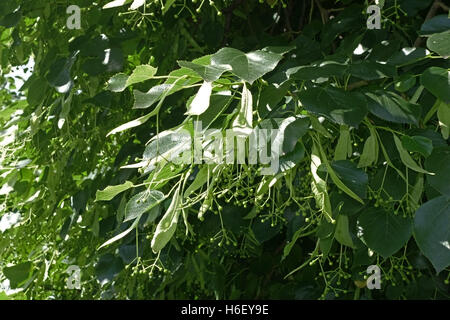 Lime tree, Tilia x europaea, leaves and fruit on a mature tree in a London park, June - Stock Photo