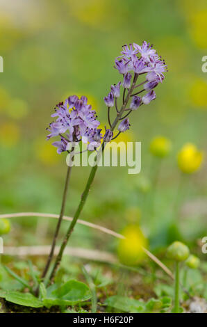 Autumn Squill, Scilla autumnalis, plant in flower, Andalusia, Spain. - Stock Photo