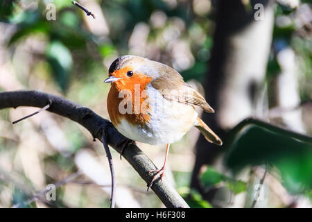 A robin redbreast (Erithacus Rubecula) perched on a branch in a woodland - Stock Photo