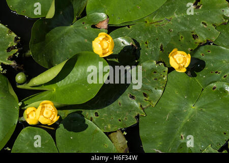 Nuphar lutea, Yellow Water-lily, growing in a pond, Surrey, UK. July. - Stock Photo