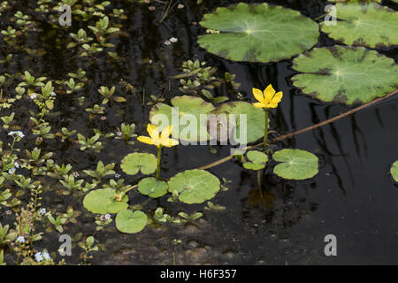 Nymphoides peltata, fringed water-lily, growing in a pond, Surrey, UK. July. - Stock Photo