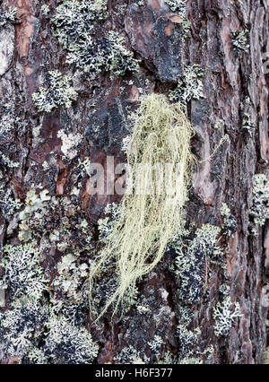 Fishbone Beard Lichen (Usnea filipendula) - Stock Photo
