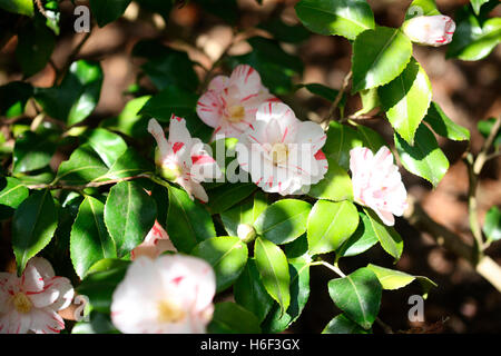white and red striped camellia in spring sunshine Jane Ann Butler Photography JABP1668 - Stock Photo
