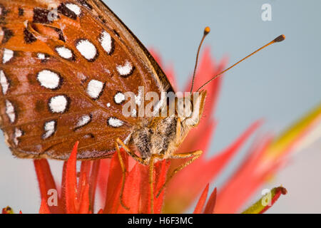 A fritillary butterfly looking for nectar in an Indian paintbrush wildflower along the upper Deschutes River in - Stock Photo