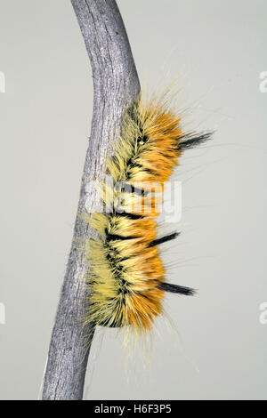 The caterpillar of the fingered dagger moth or alder dagger (Acronicta dactylina). It feeds on the leaves of alder - Stock Photo