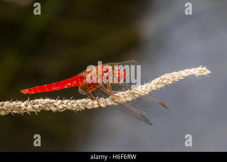 The Red-veined darter (Sympetrum fonscolombii) - Stock Photo