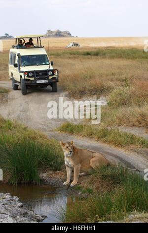 SUV with tourists on safari, near lioness at waterhole, African lion (Panthera leo), Serengeti National Park, Tanzania - Stock Photo
