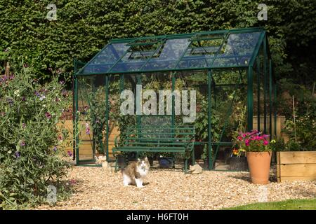 A green metal greenhouse, vented roof windows, sliding doors, tomatoes and chrysanthemums growing, and family cat - Stock Photo