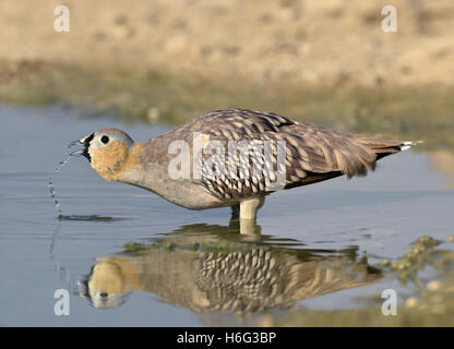 Crowned Sandgrouse - Pterocles coronatus male - Stock Photo