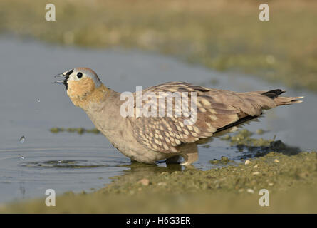 Crowned Sandgrouse - Pterocles coronatus - Stock Photo
